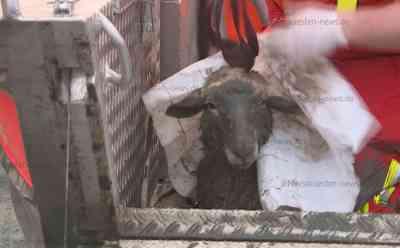 Unfreiwilliges Bad in der Stör endet mit nassem Fell: Feuerwehr muss vom Ertrinken bedrohtes Schaf aus Schlick retten: Schaf war von Damm aus ins Wasser gestürzt und konnte sich nicht selbst befreien - Spaziergänger alarmieren Feuerwehr - Glück im Unglück
