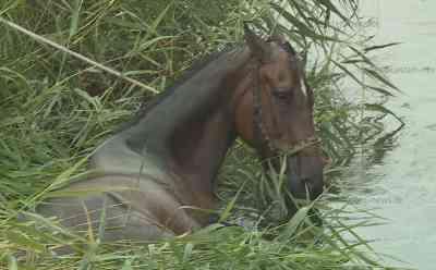 Rettungsaktion im Wassergraben: Hengst nimmt unfreiwilliges Schlammbad: Spaziergänger entdecke hilfloses Tier im Graben neben Weide - Feuerwehr muss anrücken - Landwirte retten Pferd mit Traktoren